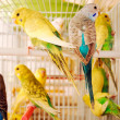 Budgerigars — Stock Photo