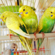 Yellow budgerigars — Stock Photo