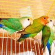 Lover birds - Stock Photo