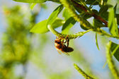 Bee closeup — Stock Photo