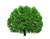 Big majestic oak tree isolated — Stock Photo