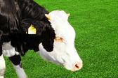 Vaca joven comiendo hierba — Foto de Stock