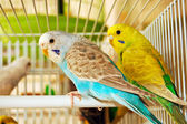 Blue and yellow budgerigars — Stock Photo