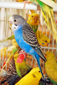 Budgerigar — Stock Photo
