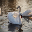 Stock Photo: Three swans on river
