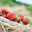 Royalty-Free Stock Photo: Fresh picked strawberries
