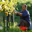 Vintner in vineyard — Stock Photo #4408616