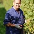 Vintner in the vineyard — Stock Photo