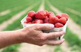 Fresh picked strawberries — Stock Photo