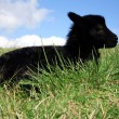 Black lambs. - Stock Photo