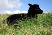 Black lambs. — Stock Photo