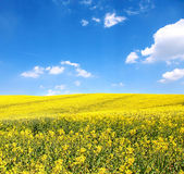 Blomma av olja av raps i fältet — Stockfoto