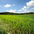 Spring wheat field — Stock Photo