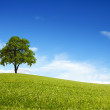 Spring field wit lone tree — Stock Photo
