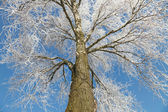 Frozen tree and blue sky — Stock Photo