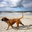 Dog at the beach — Stock Photo