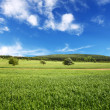 Field of wheat and perfect blue sky - Stock Photo