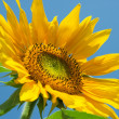 Sunflower on the blue sky background — Stock Photo #4555509