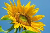 Mavi gökyüzü arka plan ayçiçeği — Stok fotoğraf