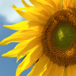Sunflower with blue sky — Stock Photo #4620380