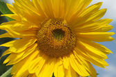 Beautiful sunflower — Stockfoto