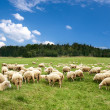 A lot sheep on the beautiful green meadow — Stock Photo #5076472