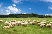 A lot sheep on the beautiful green meadow — Stock Photo
