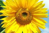 Jasne słonecznik — Zdjęcie stockowe