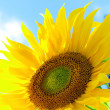 Beautiful bright sunflower — Stock Photo