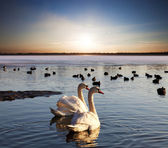 Pair of swans on lake at sunset — Stock Photo