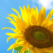 Fantastic sunflower — Stock Photo