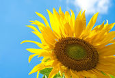 Fantastic sunflower — Stock Photo