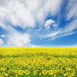 Sunflower field over cloudy blue sky — Stock Photo