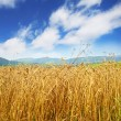 Golden wheat field and blue sky — Foto Stock