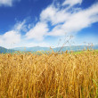 Golden wheat field and blue sky - Stock Photo
