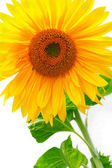 Mooie gele zonnebloem — Stockfoto