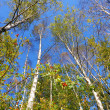 Surrounded by birch trees — Stock Photo #3962113