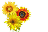 Isolated sunflowers — Stock Photo