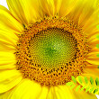 Sunflower isolated in white background - Stock Photo