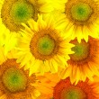 Stock Photo: Picturesque sunflower background