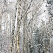 Stock Photo: Snowy alley in the birch forest