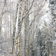Snowy alley in the birch forest — Stock Photo