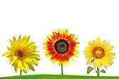 Sunflower on green field — Stock Photo