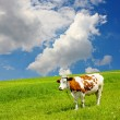 Cow and the ecological environment — Stock Photo