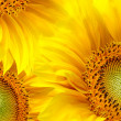 Sunflowers background — Stock Photo