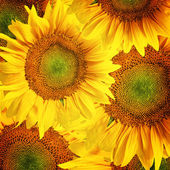 Sunflower hintergrund — Stockfoto