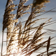 Wild grass on sunset — Stock Photo