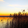 The bulrushes against sunlight over sky background in sunset — Stock Photo