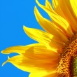 Yellow sunflower — Stock Photo #4296264
