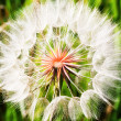 Dandelion — Stock Photo #4352302